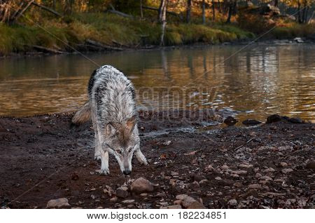 Grey Wolf (Canis lupus) Sniffs in Mud - captive animal