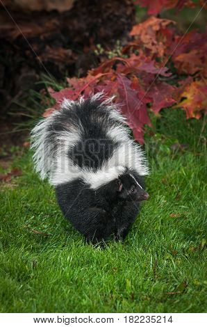 Striped Skunk (Mephitis mephitis) in Grass Paw Up - captive animal