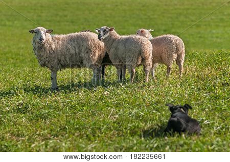 Group of Sheep (Ovis aries) Watched Closely by Stock Dog - at dog herding trials