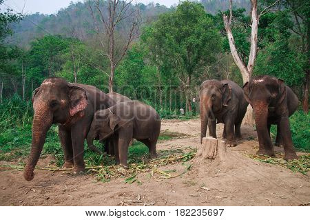 Asia elephants in Chiangmai , north Thailand.