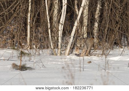 Canadian Lynx (Lynx canadensis) Stalks Forward - captive animal
