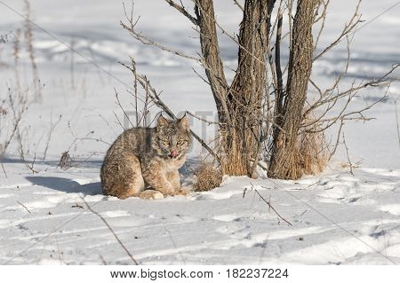 Canadian Lynx (Lynx canadensis) Licks Nose Next to Tree - captive animal