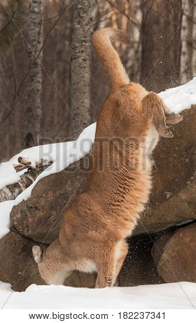 Adult Female Cougar (Puma concolor) Jumps Off Rock - captive animal