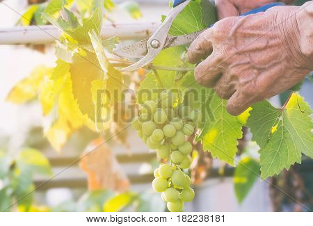 Harvester Hands Cutting Green Grapes On A Vineyard. Farmer Picking Up The Grapes During Harvesting.