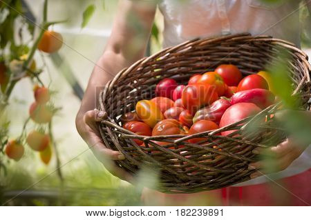 Ripe organic tomatoes in greenhouse in a garden ready to harvest. Closeup of basket with fresh vegetables in woman's hands. Healthy food concept