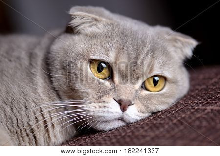 My Scottish Fold cat, pet cat, cat