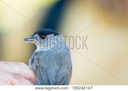 Man showing Blackcap. Eurasian blackcap. Sylvia atricapilla.