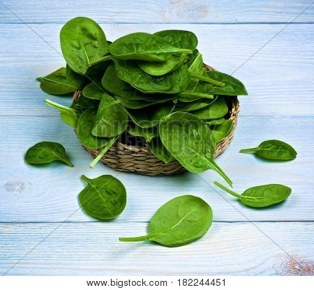 Heap of Small Raw Spinach Leafs in Wicker Plate closeup on Light Blue Wooden background