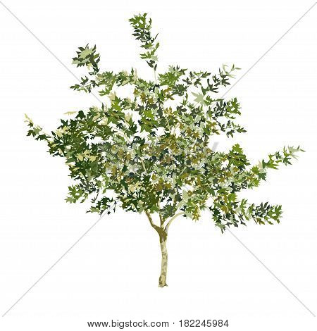 Young plane tree in the summer in color on a white background