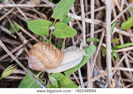 Large snail crawls along the leaf among the dry branches