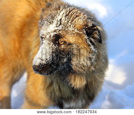 Caucasian Shepherd dog in snow at winter