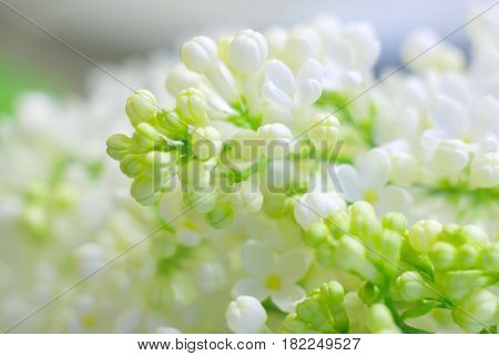 Bright spring romantic mood flower background with copyspace. White fresh fragile bloom. Blossoming flowers closeup. Clean delicate gentle flora macro image