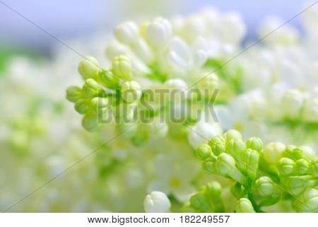 Blooming bright white petals springtime flowers. Romantic clean background with copy space. Inspirational spring nature fragility. Macro flower closeup.