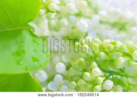 White bloom with rain drops on green leaves. Love fragility symbol. Vibrant fresh petals blossoming. Flower macro closeup.