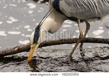 Grey heron (Ardea cinerea) probing for prey. Large bird in the family Ardeidae hunting for food in River Taff Cardiff UK