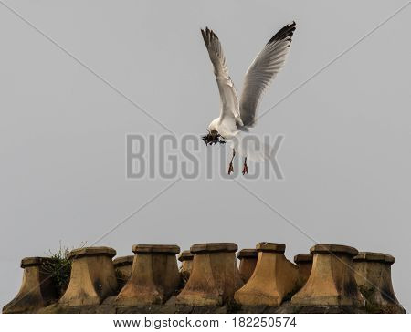 Herring gull (Larus argentatus) building nest on chimney stack. Bird in the family Laridae in flight carrying nesting material in beak to chimney in Cardiff Wales UK