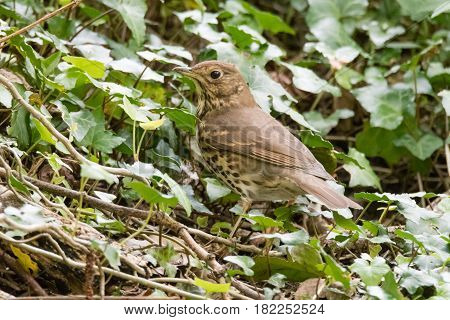 Mistle thrush (Turdus viscivorus) foraging amongst ivy. Large bird in the family Turdidae hunting for food on the ground in Cardiff Wales UK