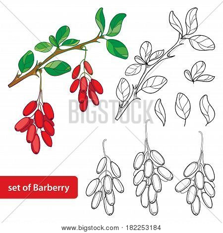 Vector set with outline Barberry or Berberis vulgaris, bunch with ripe berry and leaves isolated on white. Floral elements with barberry in contour style for summer design and coloring book.