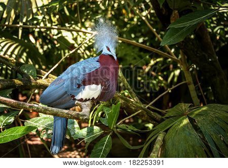 Blue dove with a beautiful openwork large crest in the shape of a crown with a red breast and a white spot on the background of a tropical forest sitting on a tree branch in Sunny day.