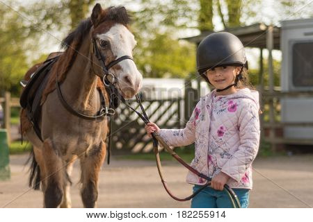 Young girl wearing riding helmet leading Welsh pony. Child holding reins of brown and white Welsh cob horse after riding lesson