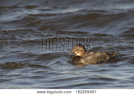 Common Pochard (Aythya ferina) female swimming in rough water of a Lake on a windy afternoon in March