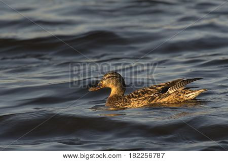 Mallard (Anas platyhrynchos) female swimming in rough water of a Lake on a windy afternoon in March