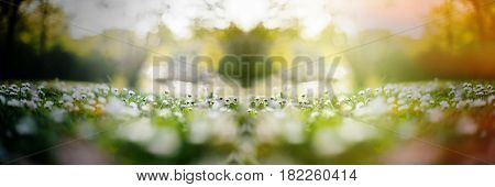 View from below of daisy field with focus on the center of the frame - tilt-shift miniature image