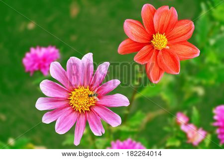 Colorful flowers dahlia on the background of the summer landscape