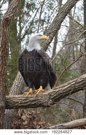 A bald eagle perched on a branch