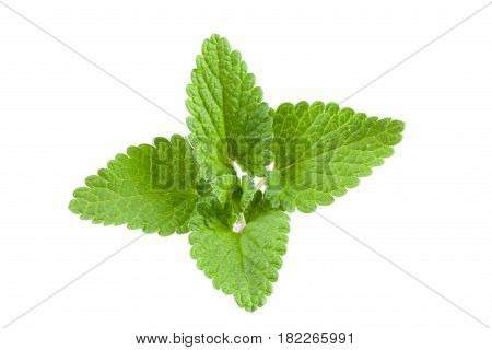 Green lemon balm leaf or Melissa officinalis isolated on white background
