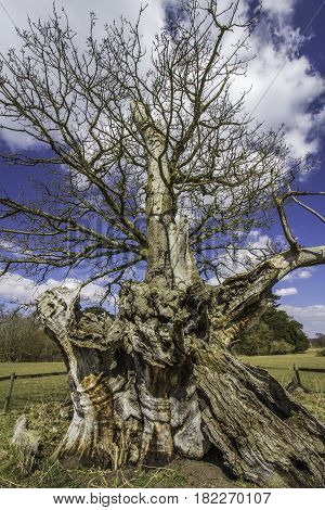 Gnarled twisted trunk of an ancient oak tree. 700 year old ancient hollow oak tree from Suffolk in the UK.