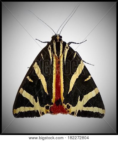 Jersey tiger moth, a once rare but now increasing species