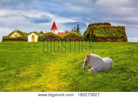 Rural pastoral. Sleek Icelandic horse has a rest on a green lawn. Ethnographic Museum-estate Glaumbaer, Iceland. The concept of the historical and cultural tourism
