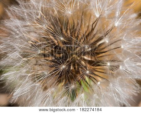 Close up of a Urospermum picroides wild flower commonly known as prickly goldenfleece from the nature of Cyprus