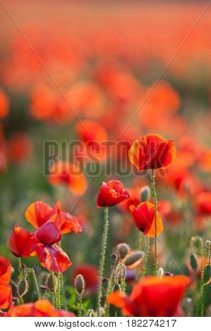 Nature, spring, blooming flowers concept - close-up of industrial farming of poppy flowers in the open ground, active flowering crops on a field of poppies - vertical - empty space for text