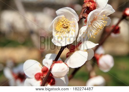 Plum Blossoms In Kodokan, Mito, Ibaraki, Japan