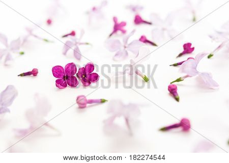 top view on white background filling with sacura flowers. Concept of love and tenderness. hi key spring pattern. Dof on sacura flower.