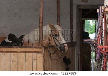 Horse Breed Haflinger, Stallion With Saddle Standing In Stable