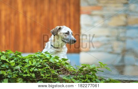 Curious puppy black and white half-blood dog standing on the wall before a brick and wooden background with a green foliage on foreground