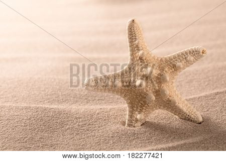 seastar or sea starfish standing in beach sand. Star fish on background with copy space.