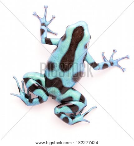 poison dart, Dendrobates auratus. A toxic tropical animal from the rain forest of Panama. Isolated on a white background.