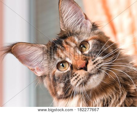 Portrait of domestic tortoiseshell Maine Coon kitten. Fluffy kitty in room at home. Close-up photo adorable curious young cat looking at camera.
