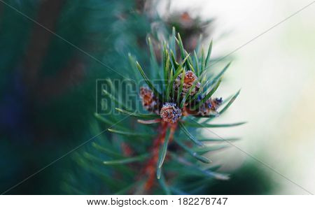 Spruce branch in spring. Kidney buds are prepared for awakening and blooming. This is a tree called