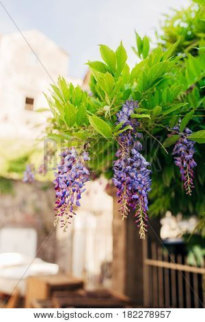 Beauty rooted in the large wisteria trellis, 150 year old wisteria