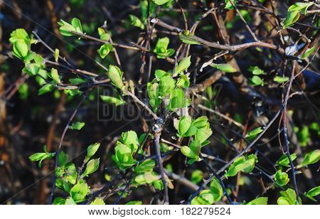 Kidneys on the bushes blossomed. The leaves of the bushes began to grow first. The resort area of Nalchik.