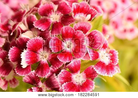 Closeup pink and red Dianthus flower ( Dianthus chinensis ) in garden.