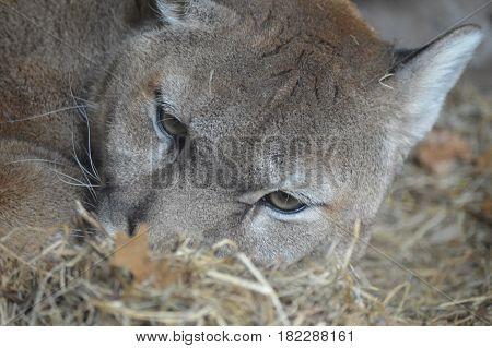 A close up of an adult puma