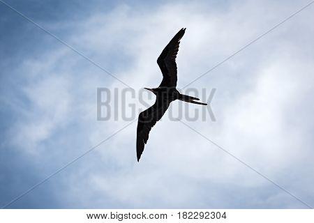 Frigatebird in the sky above the beach of Drake, Costa Rica