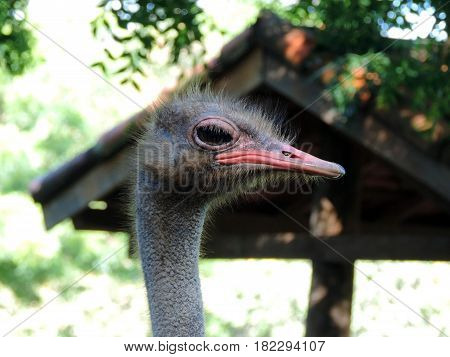 Close up on the ostrich's head in a farm