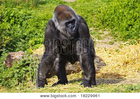 A female western lowland gorilla standing facing forward and looking to the right poster